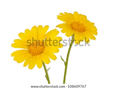 meadow yellow flower on a white background - stock photo