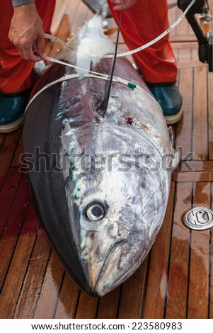Measuring blulefin tuna on mediterranean big game fishing boat. - stock photo