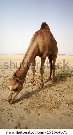 MECCA - MAY 23 : A camel that put out of cage freely but tied to a rope in camel farm somewhere on May 23, 2013 in Mecca, Saudi Arabia. Camel farm is one of attraction places for tourist in Mecca. - stock photo