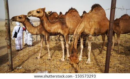 MECCA, SAUDI ARABIA - MAY 23: Camels are seen from at a camel farm in Mecca, May 23, 2013. - stock photo