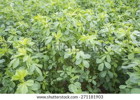 Medicago sativa (Alfalfa) - stock photo