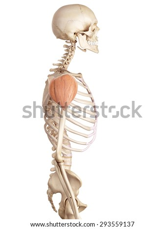 medical accurate illustration of the deltoid - stock photo