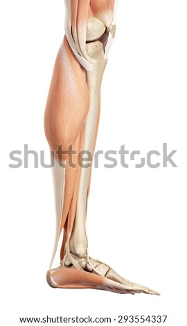 medical accurate illustration of the lower leg muscles - stock photo