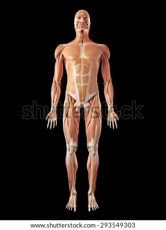 medical accurate illustration of the muscle system - stock photo