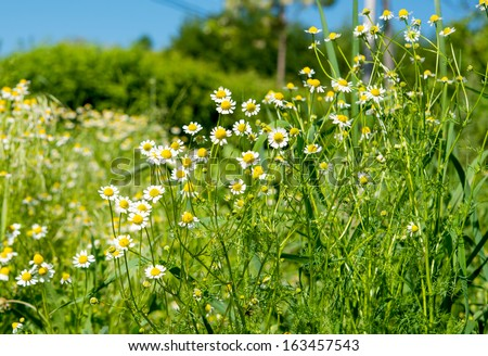 Medical daisy growing in the meadow - stock photo