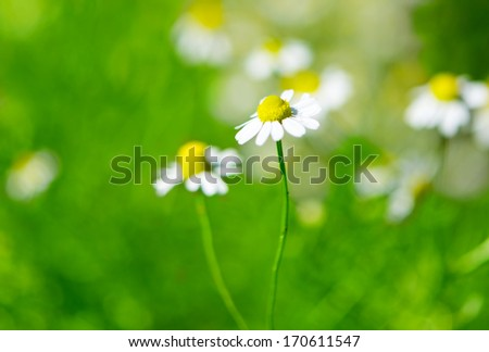Medical daisy in the meadow - stock photo