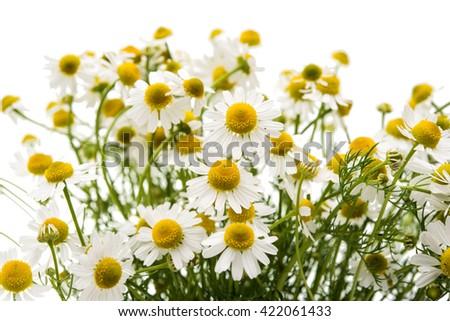 Medical daisy isolated on white background - stock photo