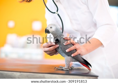Medical examination of African grey parrot with stethoscope in vet clinic - stock photo