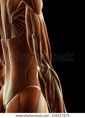 medical illustration of arm muscles - stock photo