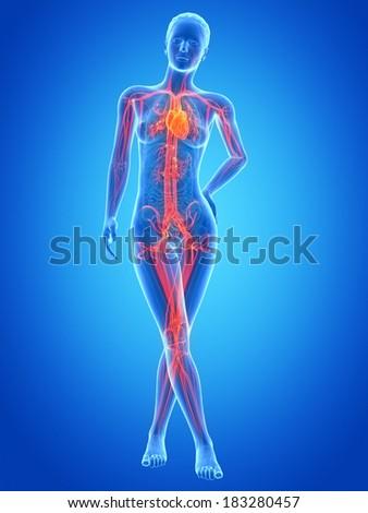 medical illustration of the female vascular system - stock photo