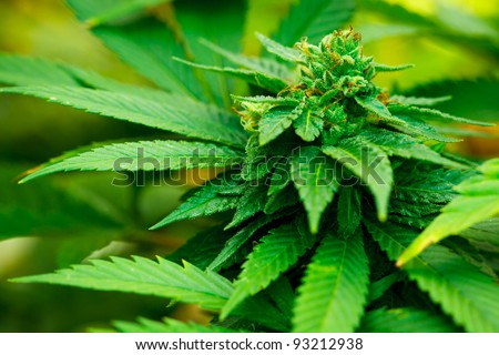 Medical Marijuana Plant - stock photo