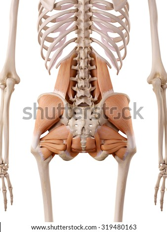 medically accurate anatomy illustration - hip muscles - stock photo