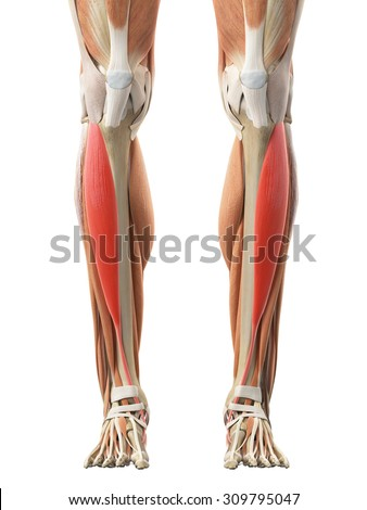 medically accurate illustration of the tibialis anterior - stock photo