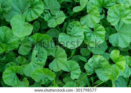 Medicinal herb lady's mantle in the natural environment of growth - stock photo