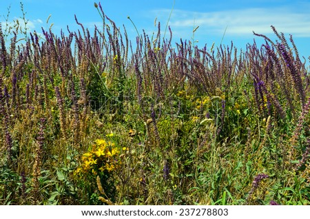 medicinal herbs growing in the summer in the Crimea - stock photo