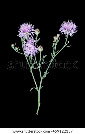 Medicinal plant Centaurea jacea (brown knapweed or brownray knapweed) isolated on a black background. Used in herbal medicine as well as a good honey plant - stock photo