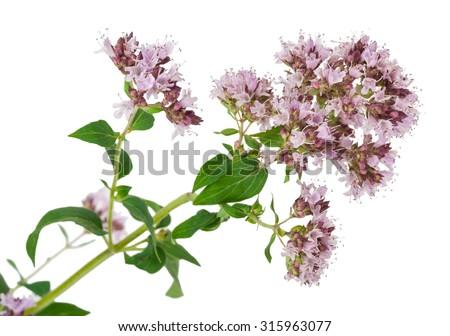 Medicinal plant: Origanum vulgare - stock photo