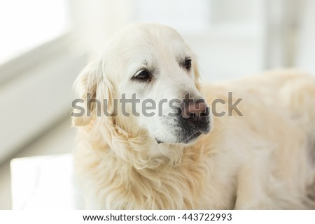 medicine, pets, animals and health care concept - close up of golden retriever dog at vet clinic - stock photo