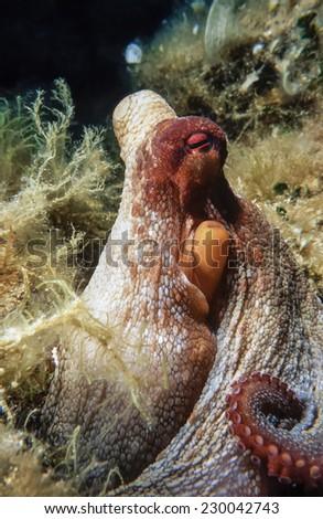 Mediterranean Sea, U.W. photo, octopus - FILM SCAN - stock photo