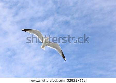 Mediterranean white seagull flying against the blue sky - stock photo