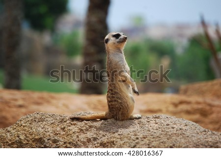 Meercat sitting will watch and looking - stock photo