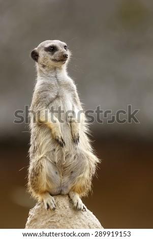 Meerkat guard - stock photo