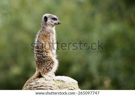 Meerkat guarding the territory. It has a thick brown fur and sharp pair of eyes and ears.  The Meerkat, is a small carnivore species belonging to the Mongoose family. - stock photo