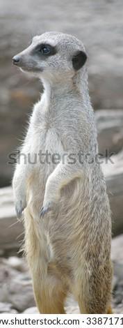 meerkat in fota wildlife park near cobh county cork ireland - stock photo