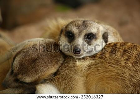 meerkat in zoo, Thailand - stock photo