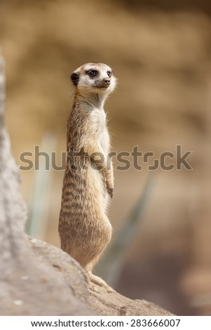 Meerkat is staying - stock photo