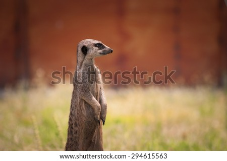 Meerkat is wathcing around in a park. - stock photo