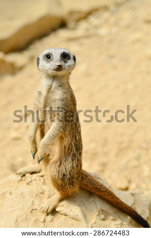 Meerkat looking at the camera - stock photo