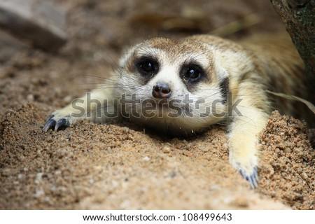 Meerkat looking something in zoo - stock photo