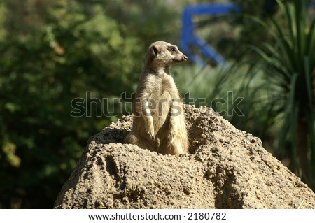 Meerkat on the lookout - stock photo