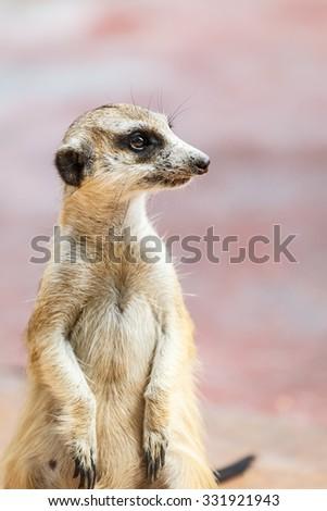 Meerkat on the lookout - stock photo