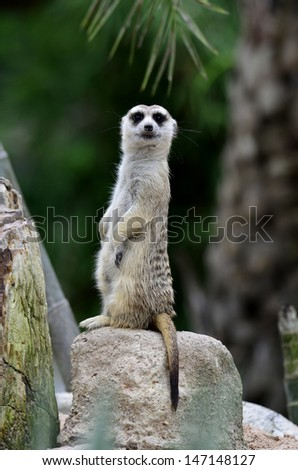 Meerkat or Meercat standing upright watch for enemy - stock photo