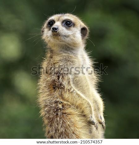 Meerkat or suricate (Suricata suricatta). - stock photo