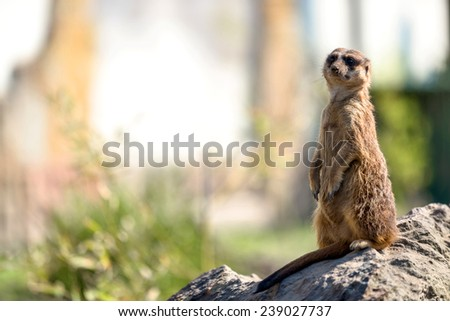 Meerkat or Surikate in alert position closeup photo - stock photo