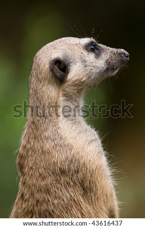 Meerkat Sentinel with Sand on his face from burrowing - stock photo