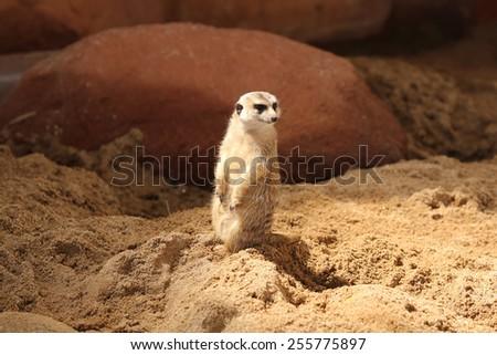 Meerkat sitting and looking. - stock photo