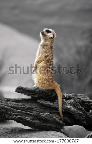 meerkat standing on guard - stock photo