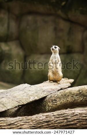 Meerkat standing to lookout. - stock photo
