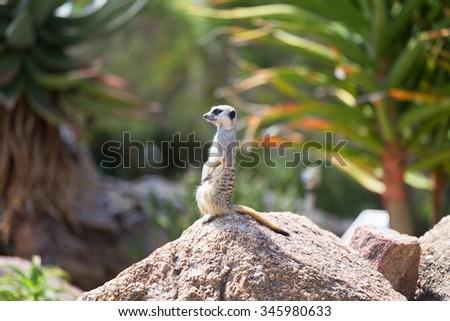 Meerkat (Suricata suricatta), also known as the suricate. Wild life animal. - stock photo