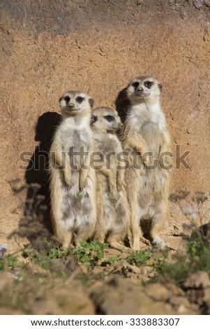 Meerkat, Suricata suricatta, basking in the autumn sun - stock photo