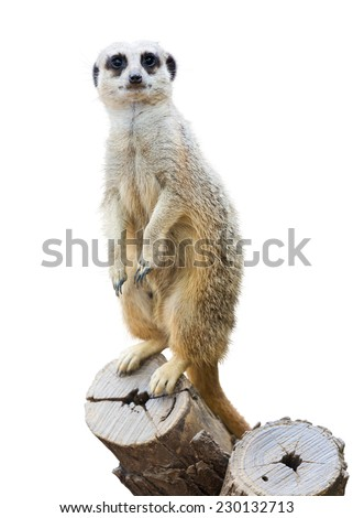 Meerkat (Suricata suricatta). Isolated  over white background - stock photo