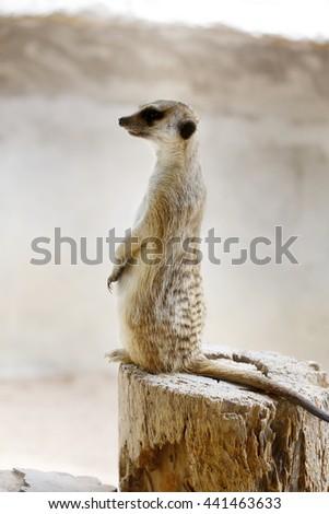 meerkat, suricate - stock photo
