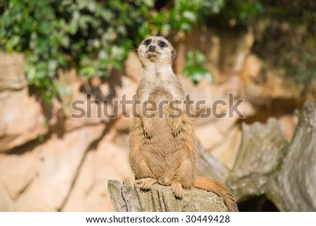 Meerkat (Suricate) Looking at Camera - stock photo