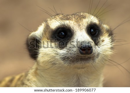 Meerkat (Surikate) found in Zoo at Thailand - stock photo