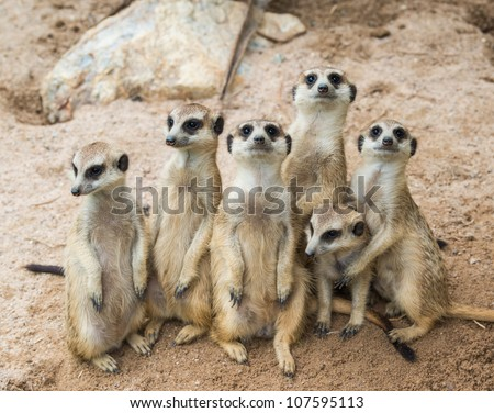 Meerkats family - stock photo
