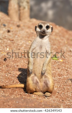 Meerkats in the wild - stock photo